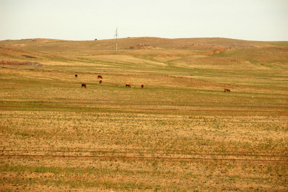 Kor för mjölk och kött i Gobi