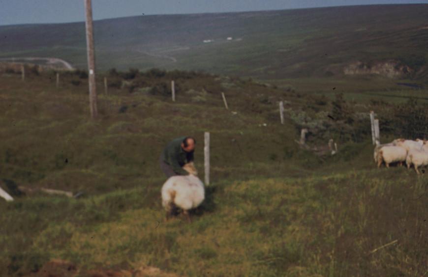 Jag fångat ett lamm