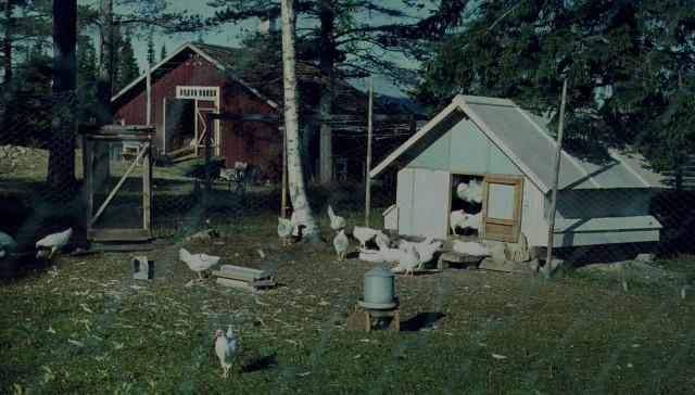 Kycklingar från Klensmedens