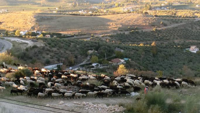 Fåraherde i Andalusien