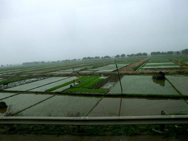 Ris vid Röda floden Nordvietnam 2012