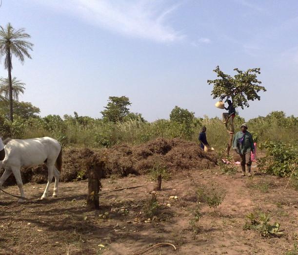 Jordnötter Gambia 2009