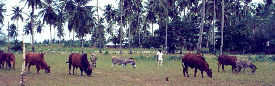 Kor på kulturbete, kokos